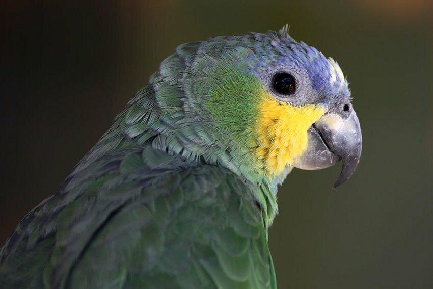Признаки клеща у попугая